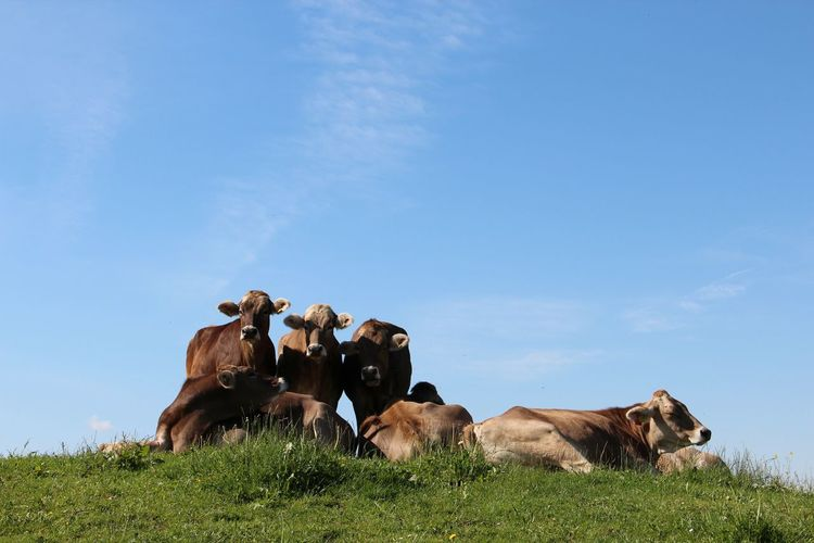 Animal Themes Blue Cattle Clear Sky Cow Day Domestic Animals Farm Animal Field Grass Livestock Low Angle View Mammal Nature No People Outdoors Sky Togetherness
