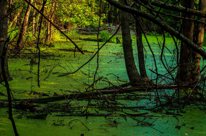 Beauty In Nature Branch Day Forest Green Color Growth Lake Land Nature No People Outdoors Plant Scenics - Nature Swamp Tranquil Scene Tranquility Tree Tree Trunk Trunk Water WoodLand