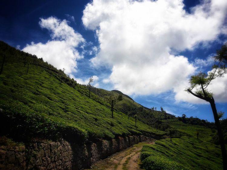 Agriculture Tea Crop Rural Scene Cloud - Sky Nature Scenics Landscape