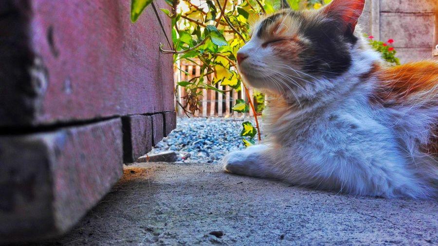 Peace One Animal Domestic Animals Pets Animal Themes Domestic Cat Day Feline Cats 🐱 Cateyes Threecolors White Yellow Black Nature Garden EyeEm EyeEmMagazine Photoart ınstagram @iamjavbi