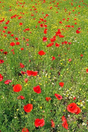 High angle view of red poppies on field