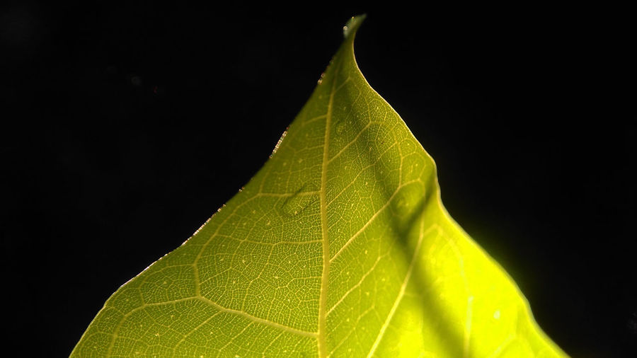 Nature Green Leaf in the dark Leaf 🍂 Leafs Nature Nature Leaf Beauty In Nature Black Background Close-up Day Dynamic Dynamic Lighting Dynamiclight Fragility Freshness Green Color Green Leaf Greenleaf Growth Leaf Leaf Photography Leaf Vein Maple Nature No People Outdoors Studio Shot