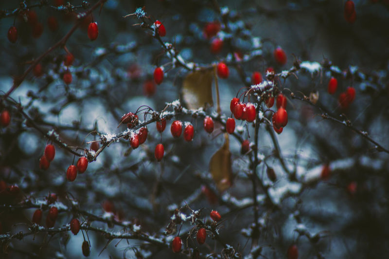 Close-up of cherries growing on tree during winter