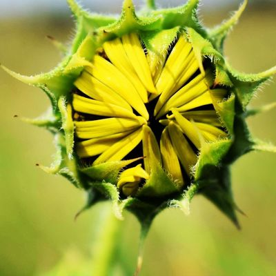 Before Flower Fragility Plant Flower Head Beauty In Nature Nature Close-up Freshness Petal Growth No People Yellow Green Color Day Outdoors Leaf Blooming