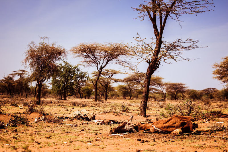 African Drought Global Warming Hot Kenya Stress Thirst Africa Arid Climate Cattle Climate Change Cow Day Fur Herd Animal Land Pressure Landscape Livelihood Maasai Nature No People Outdoors Tranquility Tree An Eye For Travel EyeEmNewHere