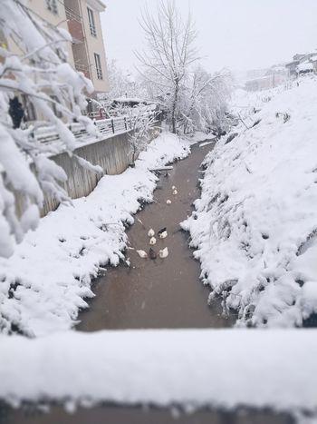Kış ördekleri