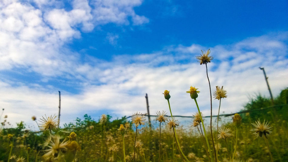Breeze Flower Nature Growth Sky Field Beauty In Nature Cloud - Sky Plant Scenics Outdoors Day Flower Head Freshness EyeemPhilippines EyeEm Vision Pangasinan, Philippines