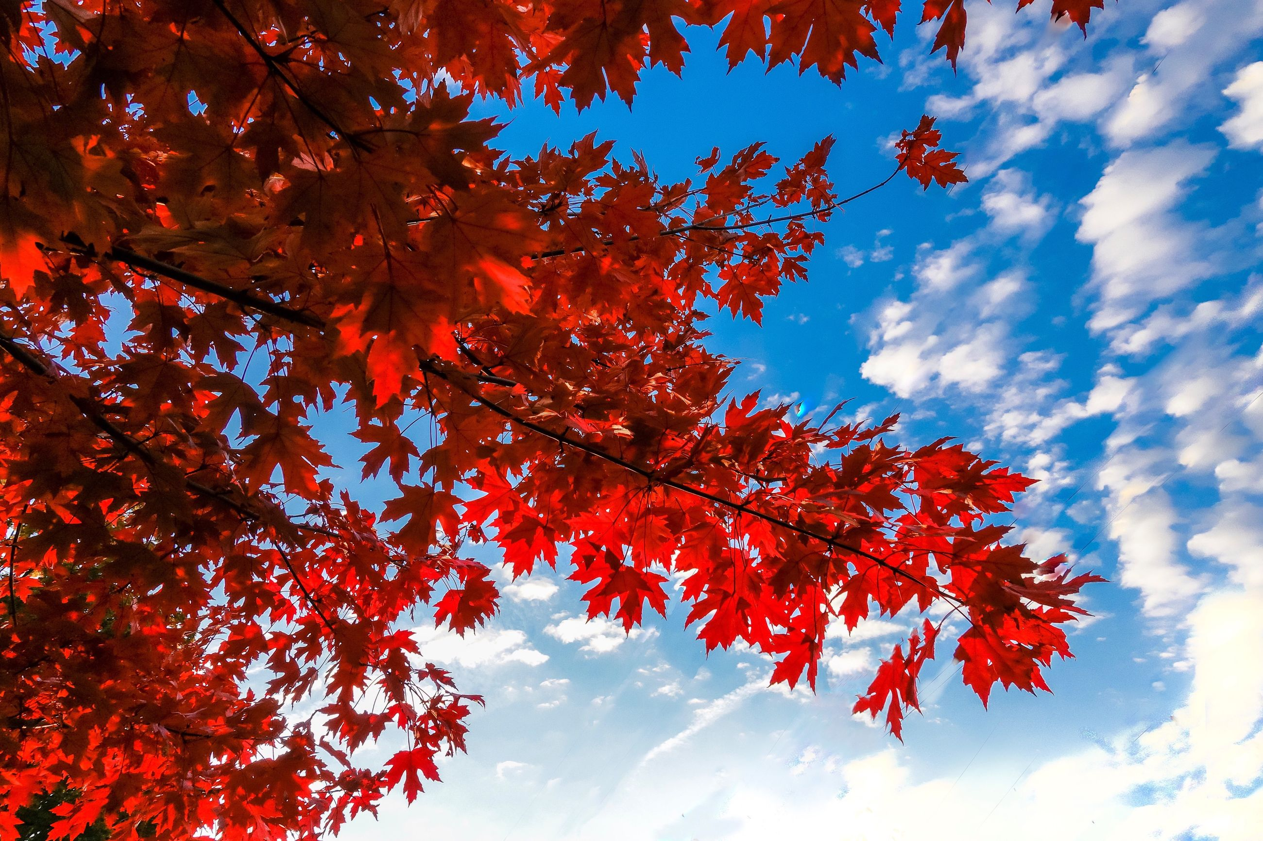 autumn, tree, plant, leaf, beauty in nature, plant part, low angle view, sky, branch, change, growth, cloud - sky, nature, red, day, no people, maple leaf, orange color, maple tree, outdoors, leaves, natural condition, cherry blossom