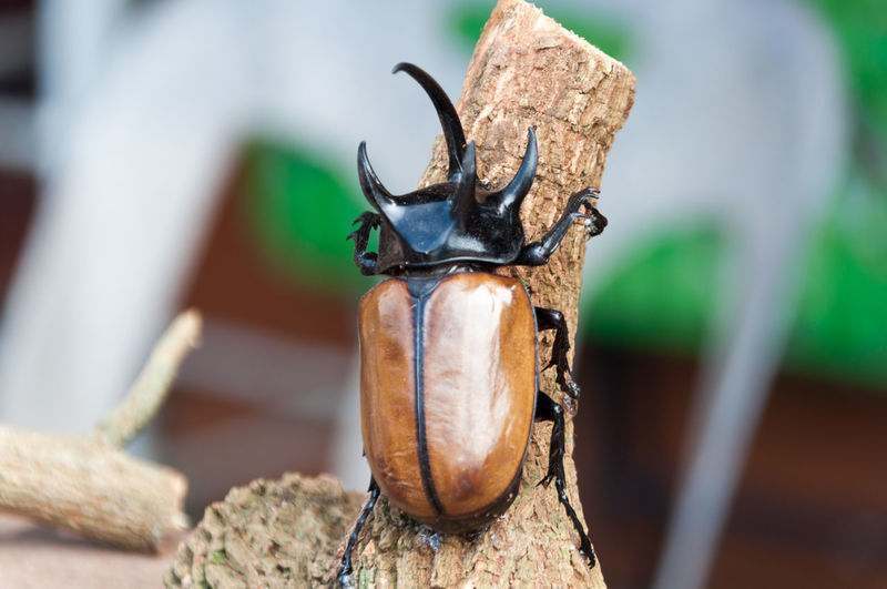 Animal Themes Animal Wildlife Animals In The Wild Close-up Day Dynastinae Insect No People Outdoors
