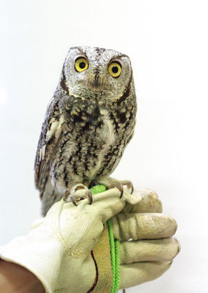 Injured screech owl Animal Wildlife Perching Portrait Owl Close-up Bird Of Prey Animal Themes Animals In The Wild One Animal Bird Gloved Hand Falconry Captive Animals Captive Bird Injured Bird Cute Animals Owl Eyes Owl Photography Tonaquint Nature Center