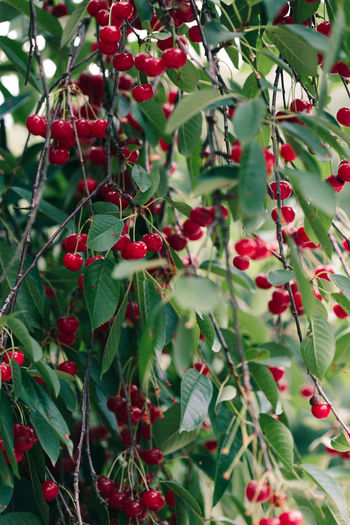 Closeup of ripe red cherry berries on tree among green leaves Fruit Red Food Close-up Freshness Ripe Day No People Outdoors Nature Growth Plant Cherry Berry Garden Green Harvest Nature Organic Agriculture Tree Leaves Season  Healthy Summer