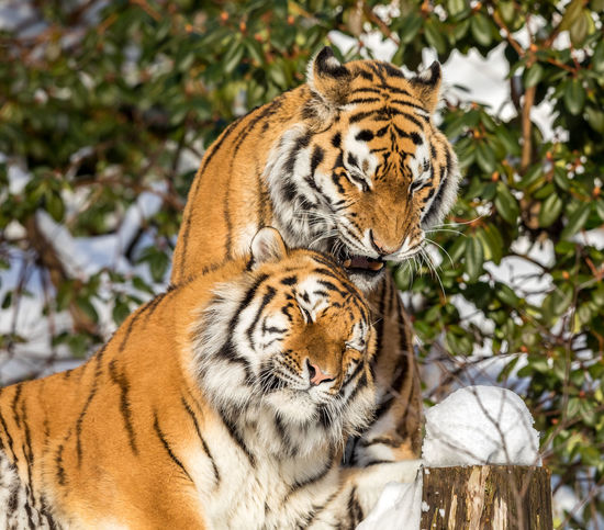Orange Panthera Tigris Altaica Tigers Winter Animal Themes Animals In The Wild Black Cats Close-up Day Feline Lying Down Male And Female Mammal Nature One Animal Outdoors Resting Siberian Tiger  Snow Tiger Together Togetherness Two Animals White