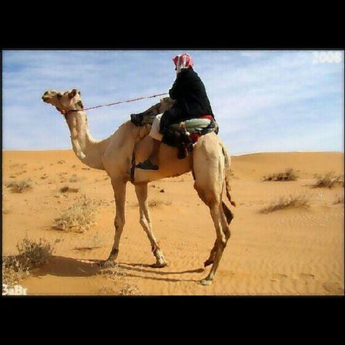 صورة راعي مع الجمل رحول في صحراء الربيعية في القصيم A picture of an animal camilsponsor desert Qassim