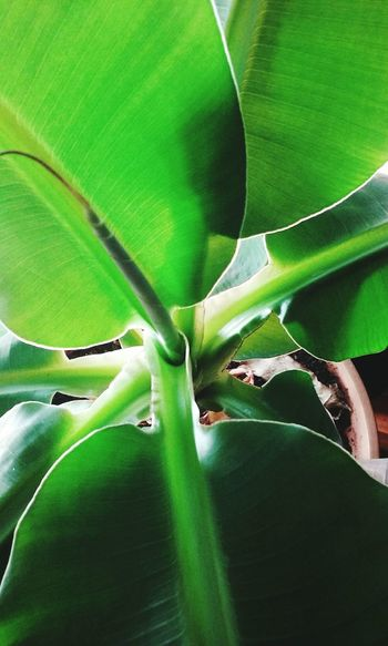 Things I Like Banana Tree Plants Collection Indoor Gardening Green Leaves Growth