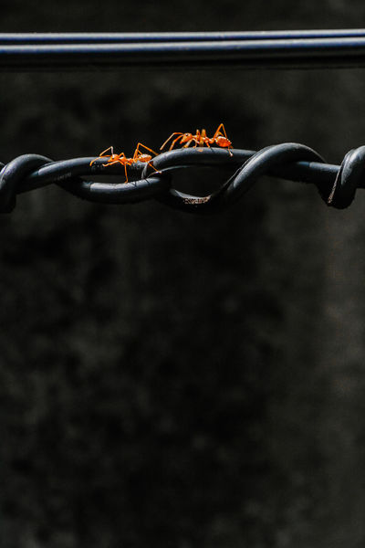 Ants use spiral cable for walk through to working(find food) Animal; Ant; Background; Black; Cable; Close-up Cohesion; Day Horizontal; Insect; Jaw; Macro; No People Orange; Outdoors Small; Spiral; Teamwork; Tropical; Unity; Walkway; Wildlife; Work;