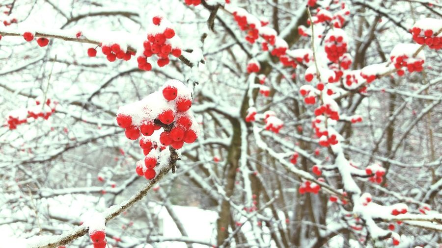 Cold Winter ❄⛄ Close-up Wild Berries Snow ❄ Red Branches Check This Out Plants Nature Snowflake Winter Frosty Mornings Forst