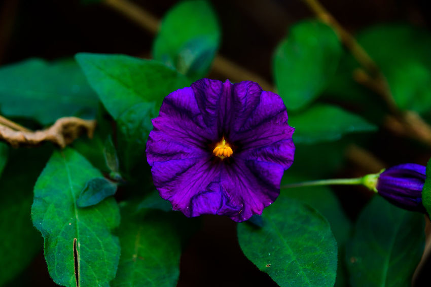 Beauty In Nature Blooming Close-up Day Flower Flower Head Focus On Foreground Fragility Freshness Growth Leaf Nature Outdoors Petal Petunia Plant Purple EyeEmNewHere