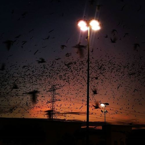 WOW ! This happened...! I feel like I'm in the movie Birds ... Birdsofafeatherflocktogether Amazing Crazy I thought they were all bats at 1st... Houston Migration Nationalgeographic taken with my LGG4 wish i had better like so I could have raised my Shutterspeed and lowered the ISO