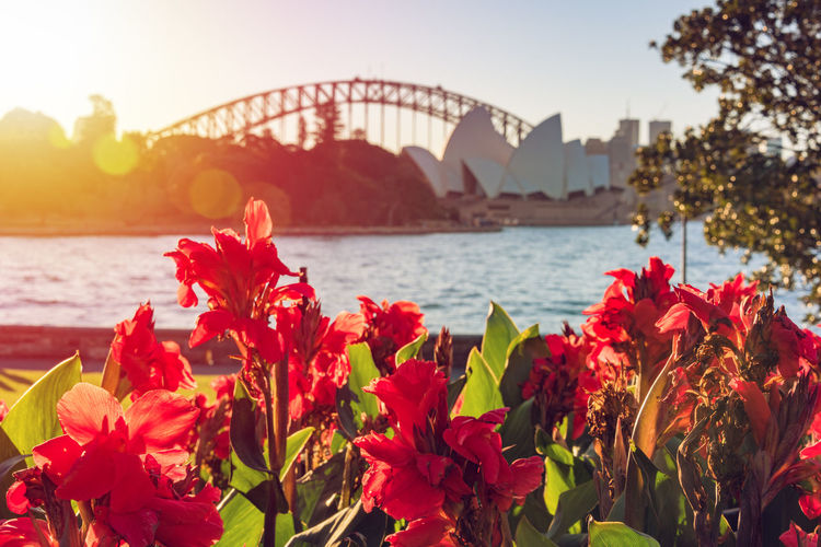 Bright red canna lily flowers with Sydney landmarks on the background. Sydney, Australia tourism background Flower Lily Tourist Attraction  Travel Destinations Sunset Sunlight Botanical Garden Garden Famous Place Landmark Sightseeing Australia Bennelong Point Canna Lily Nsw New South Wales  Royal Botanic Gardens Sydney Sydney Harbour Bridge Plant
