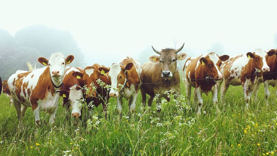 Herd Large Group Of Animals Animal Group Of Animals Grass Animal Themes Nature Outdoors No People Rural Scene Animal Wildlife Livestock Day Animals In The Wild Nature EyeEm Best Shots - Nature Cattle Cow Alps Curiosity Swiss Beauty Domestic Animals Foggy Meadow Animallovers Summer Exploratorium The Great Outdoors - 2018 EyeEm Awards It's About The Journey