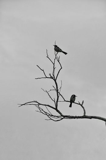 Birds Birds On Branches Silhouette Perching Perching On A Branch Perching Birds Branches Branch Of A Tree Melbourne Outback Bird Photography Bird Watching Birds_n_branches Birds Of EyeEm  Ornithology  Black And White Monochrome Monochrome Photography