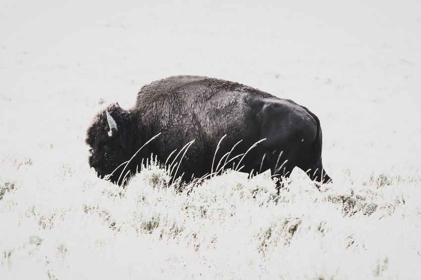 Yellowstone bison EyeEm Selects Animal Animal Themes Mammal One Animal Vertebrate Animal Wildlife Nature Animals In The Wild No People Day Land Field Outdoors Side View Herbivorous
