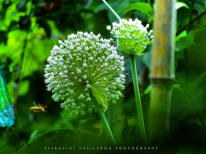 Countryside Nature Bee Garden Photography Wild Garlic EyeEm Nature Lover EyeEmBestPics Eye Em Nature Lover Getty Images Getty+EyeEm Collection Flower Flower Head Living Organism Blossom Close-up Plant In Bloom Plant Life