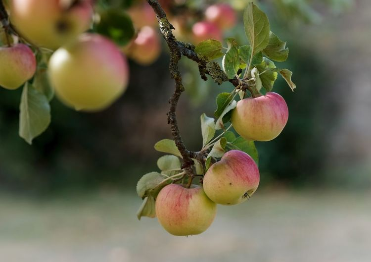Apfelernte Beauty In Nature Branch Close-up Day Focus On Foreground Food Food And Drink Freshness Fruit Growth Hanging Healthy Eating Leaf Nature No People Outdoors Plant Plant Part Ripe Tree Wellbeing äpfel Am Baum