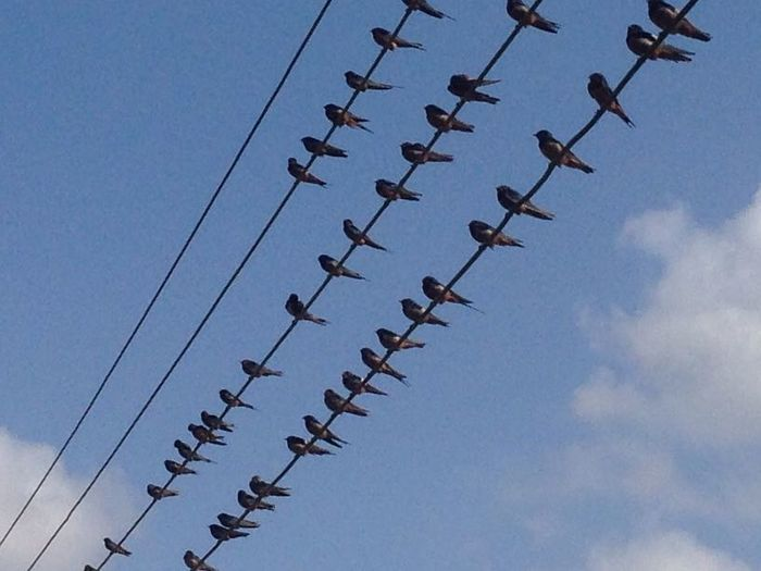 Swallow birds Swallow Birds Sky