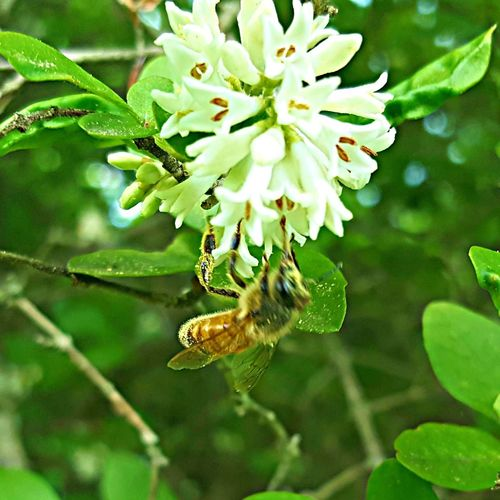 The Essence Of Summer Honey Bee In Shrubbery