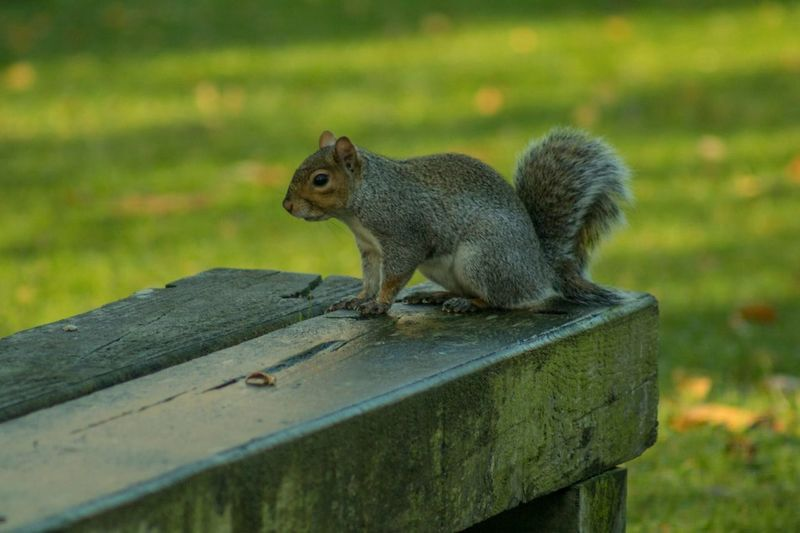 Animals In The Wild Animal Themes Squirrel Animal Wildlife One Animal Mammal No People Focus On Foreground Outdoors Eating Nature Day Food Close-up Animal On Bench Animal On Chair Park Bench Ireland
