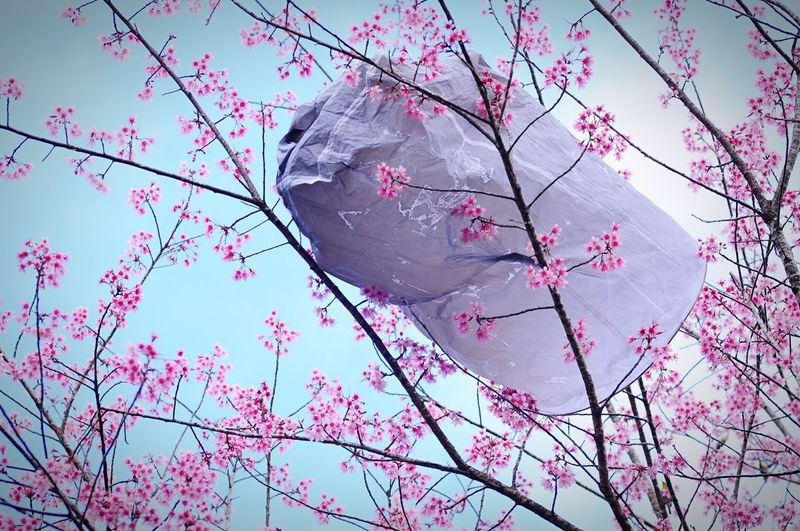Garbage Stuck On Branches Of Pink Flowering Tree Against Clear Sky