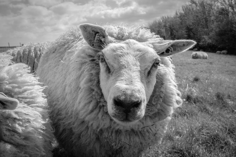 Animal Themes Blackandwhite Close-up Day Domestic Animals Field Grass Livestock Looking At Camera Mammal Nature No People One Animal Outdoors Portrait Sheep Sky