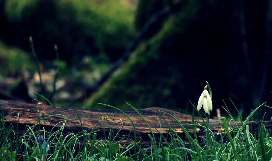 Snowdrop Spring Springtime Spring Flowers Flower Nature Beauty In Nature Snowdropflower Flowers_collection Beautiful Nature Nature Photography Beauty Of Nature Nature_collection Naturelovers Alone