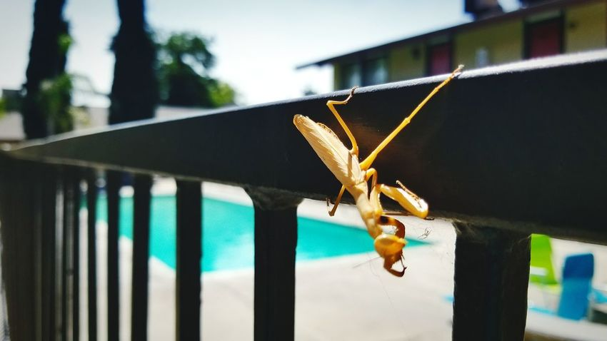 EyeEm Selects Hanging Protection Day No People Close-up Outdoors Mantis Insect Insect Photography Insect Paparazzi Insects Beautiful Nature Insects  Green Mantis Pose Mantis Collections Mantis Religiosa Mantis Stare The Week On EyeEm