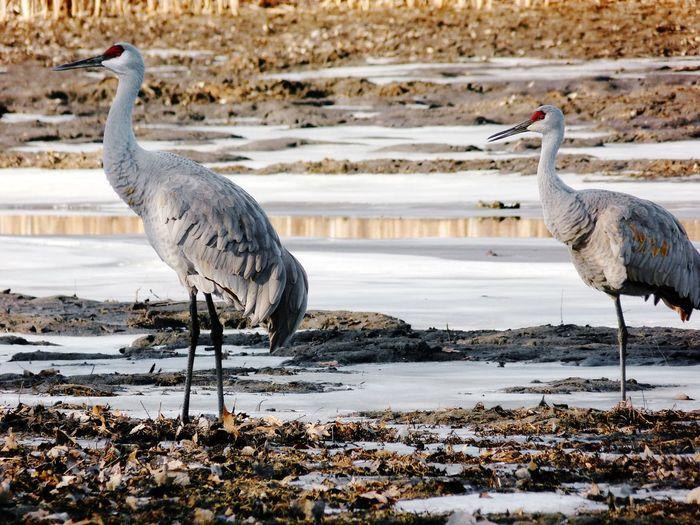 Sandhill cranes at lakeshore during winter