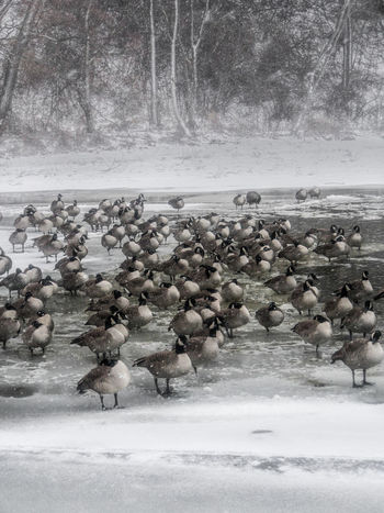 Animal Themes Animals In The Wild Beauty In Nature Bird Cold Temperature Colony Day Large Group Of Animals Nature No People Outdoors Snow Togetherness Tree Water Winter