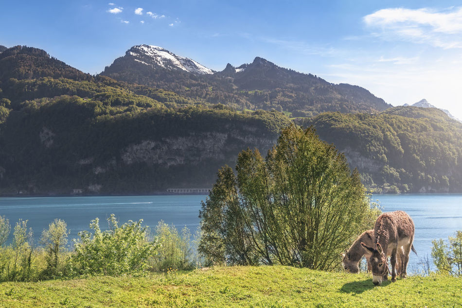 Spring landscape with the Swiss Alps mountains, the Walensee lake and a pair of donkeys grazing on a meadow, on a sunny day, in Quarten, Switzerland. Farm Animals Switzerland Alps Blue Sky Domestic Animals Donkey Green Grass Lake Landscape Spring Springtime Summer Swiss Alps Swiss Nature Switzerland Switzerlandpictures
