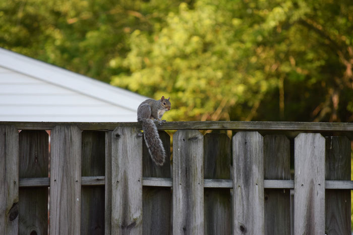 Animal Perching Rodent Squirrel Trees Wildlife Wood Fence Wooden Fence