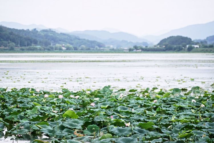 Swamp Wetland Agriculture Beauty In Nature Day Freshness Green Color Growth Lake Land Landscape Lotus Mountain Nature No People Outdoors Plant Scenics - Nature Sky Tranquil Scene Tranquility Water