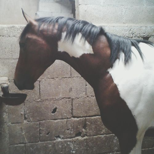 My Horse New Horse Painthorse