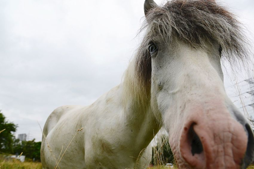 Lifestock Animals In The Wild Herbivorous Horse Head Animal Themes Mammal Animal One Animal Domestic Animals Domestic Vertebrate Horse Livestock Animal Wildlife Pets Animal Mouth Animal Body Part Animal Head  No People White Color Nature Day Close-up Outdoors