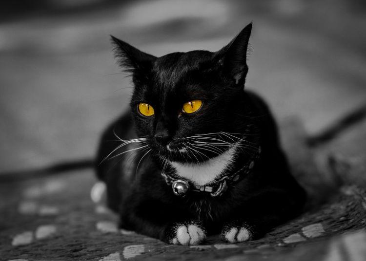 แมว แมวดำ ดวงตา อารมณ์ ศิลปะ สัตว์เลี้ยงตัวใหม่ สัตว์เลี้ยง สัตว์