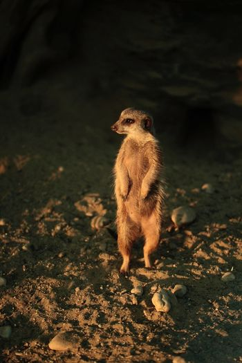 Close-up of meerkat rearing up on field