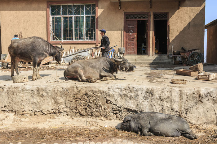 YuanYang, China - February 20, 2017: Hani farmer busy with his daily activities with water buffalos and a pig on foreground. Hani are one of the 56 minorities in China and are native of YuanYang in Yunnan. Agriculture ASIA Bada Banaue Philippines Chinese Minority Dali Yunnan Duoyishu Ethnic Minority Hamanoura Tanada Hani Honghe Laohuzui, Laoyingzui Lijiang, Rice Terraces Sapa, Vietnam Shangrila, Shengcun Market Tegalalang Ubud UNESCO World Heritage Site Water Buffalo Yi Yuanyang Yunnan ,China