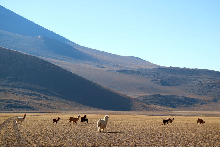 Group of Llama at the Andes foothills, the Bolivian Altiplano, South America Animal Mammal Group Of Animals Animal Wildlife No People Nature Landscape Animals In The Wild Beauty In Nature Environment Llama Alpaca Mountain Andes Mountains Bolivia Desert Feild Farm Farmland Highlands Travel Sunshine Meadow Herd Grazing
