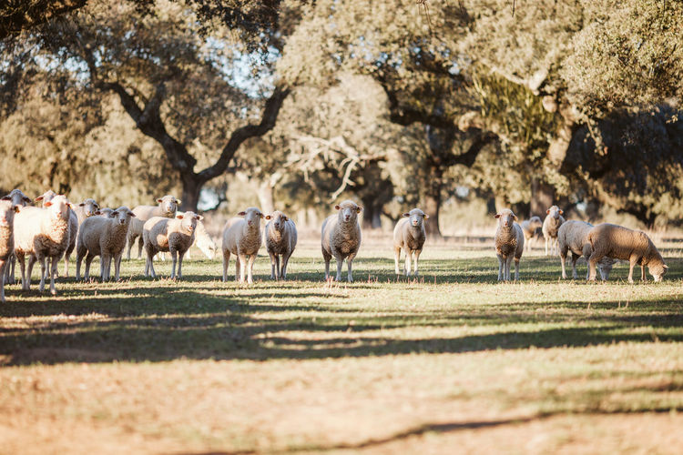 Agriculture Farm Farm Life Farmland Livestock Agricultural Land Alentejo Animal Themes Domestic Animals Field Grass Grazing Large Group Of Animals Livestock Mammal Nature No People Outdoors Sheep Sheep Farm Sheep Ranch Sheeps Sheep🐑 Whool