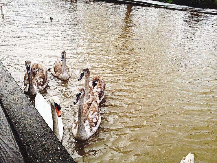 Swans Riverside Nature