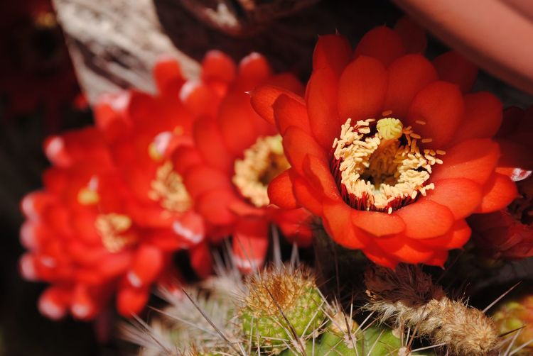 Cactus flower Flowering Plant Flower Vulnerability  Plant Freshness Fragility Beauty In Nature Growth Close-up Petal Flower Head Inflorescence Red Focus On Foreground Nature Day Orange Color No People Selective Focus Pollen