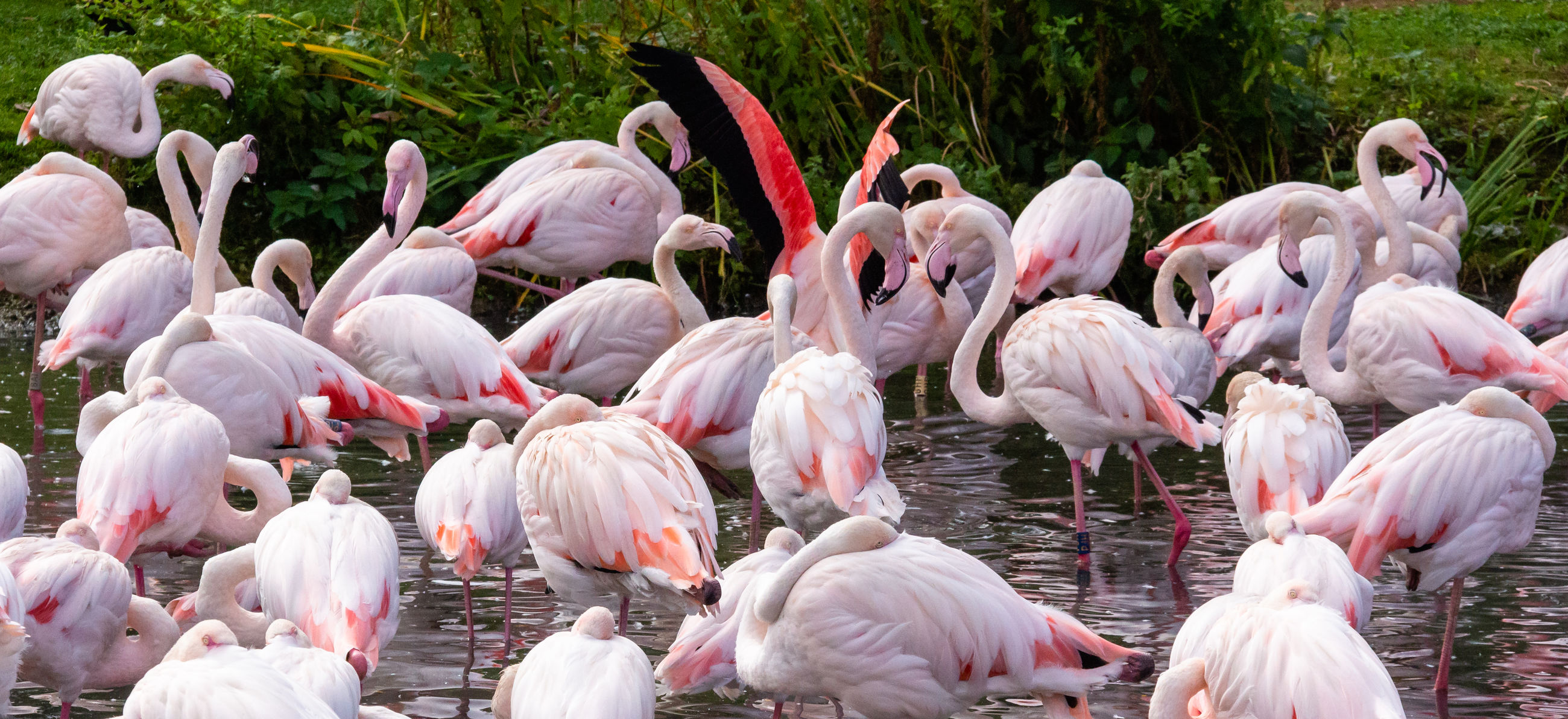 flamingo, group of animals, large group of animals, animal, animal themes, vertebrate, animals in the wild, animal wildlife, pink color, no people, day, bird, water, beauty in nature, nature, flock of birds, outdoors, lake, plant, beak, animal neck, freshwater bird